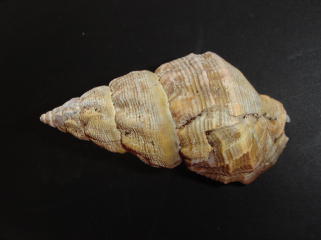 Polar sea snail from the Arctic, Buccinum glaciale. Increased ocean acidity is affecting the size and weight of shells and skeletons, and the trend is widespread across marine species. Sue-Ann Watson