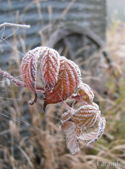 Raspberry Frost Foliage and webs