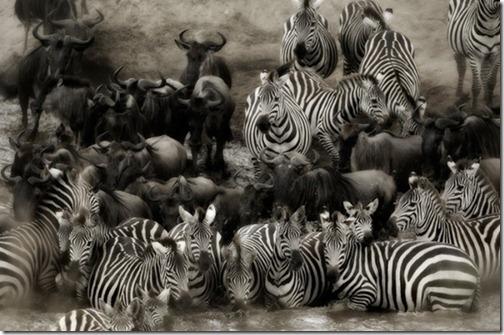 blackandwhitephotographyGiraffe_thum