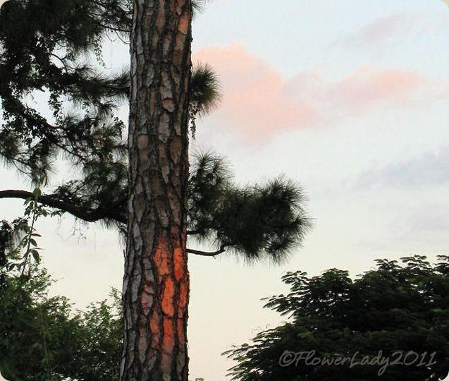 10-01-morning-sun-on-pine2