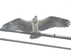 7.31.12 young osprey on wire wings spread1