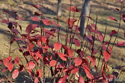 Purple leaf Sandcherry