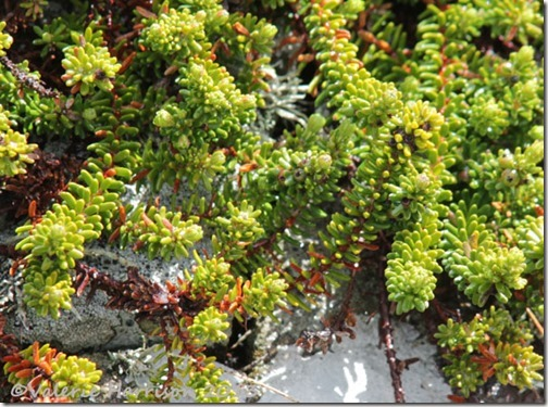 11-crowberry