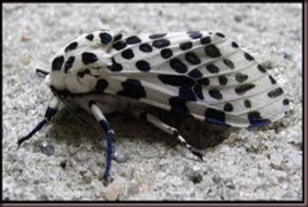 Amazing Pictures of Animals photo Nature exotic funny incredibel Zoo giant leopard moth, insect.Alex (10)