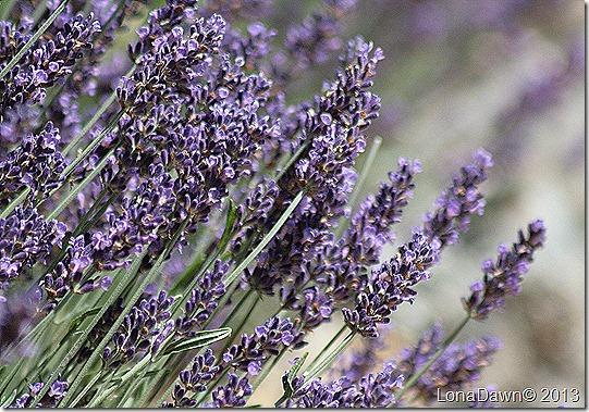 EJC_Lavender