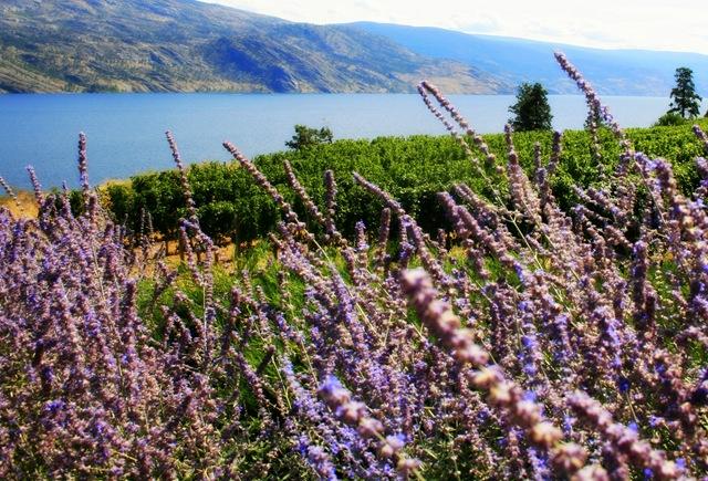 Lavender vineyards at Greata