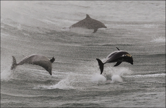 Dolphins are slaughtered by the thousands off the coast of Peru for shark bait. Photo: Reuters