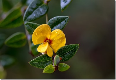 pea-flower---rob-slater