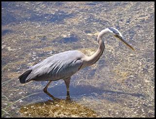 03a7k - Causeway- Gator crossing - Great Blue Heron