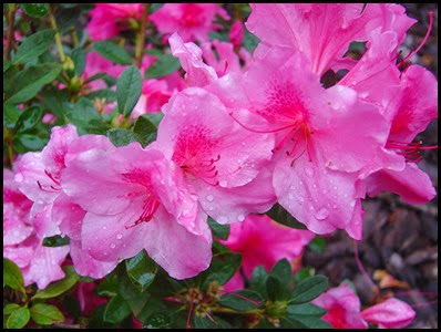 azalea-encore-autumn-royalty