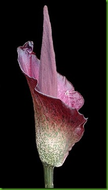Amorphophallus_konjac