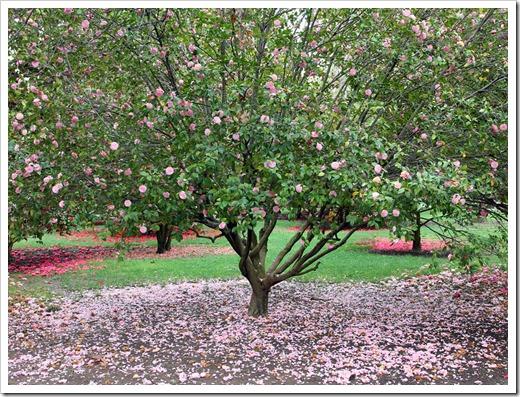 120317_Capitol_Park_Camellia-japonica_47