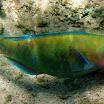 papugoryba - Pale bullethead Parrotfish - Chlorurus japanensis .jpg