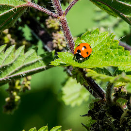 Ladybird by Warren Matthews - Nature Up Close Other Natural Objects ( plant, detail, wildlife, beauty, leaf, insect, beetle, macro, nature, foliage, biology, black, closeup, flora, green, beautiful, environment, season, background, blade, bug, ladybug, small, garden, natural )