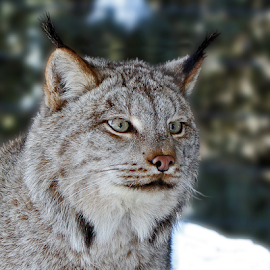 Lynx by Lloyd Alexander - Animals Other Mammals ( lloyd alexander, big ears, nature, tufts, lynx, intense, wildlife, profile )