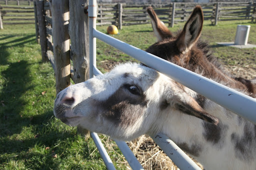 Mini-donks were originally bred as working donkeys on the Mediterranean islands of Sicily and Sardinia, off the coast of Italy.