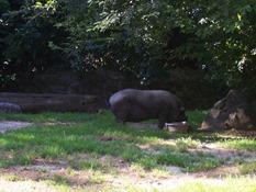 2013.08.04-046 cochon du Viet-Nam