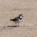 Little Ringed Plover; Chorlitejo Chico