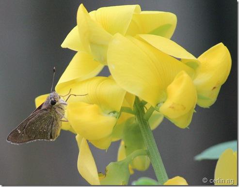 swift on crotalaria retusa