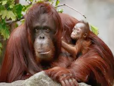 Amazing Pictures of Animals, Photo, Nature, Incredibel, Funny, Zoo, Bornean orangutan,Pongo pygmaeus, Primates, Alex (17)