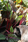 The ruby Swiss chard will go nicely with tonight's dinner menu.