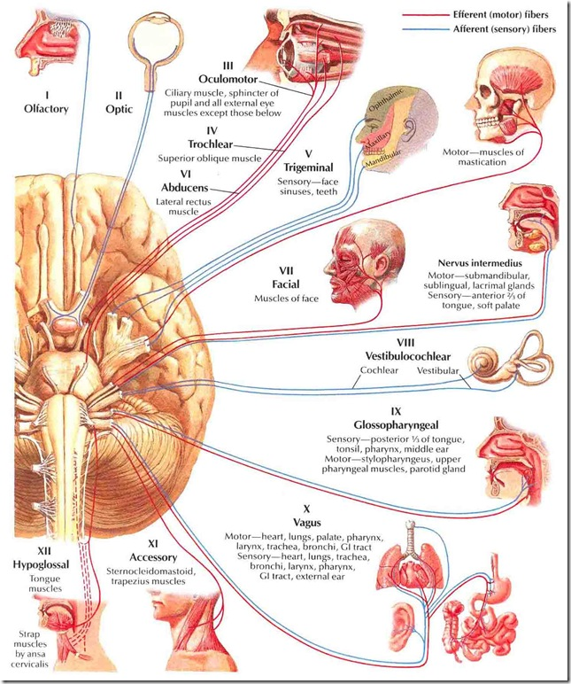 Major Functions Of Cranial Nerves Biology Exams 4 U