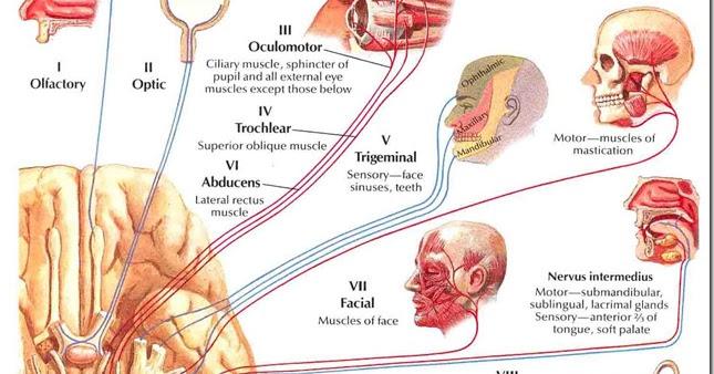 major functions of cranial nerves biology exams 4 u. Black Bedroom Furniture Sets. Home Design Ideas