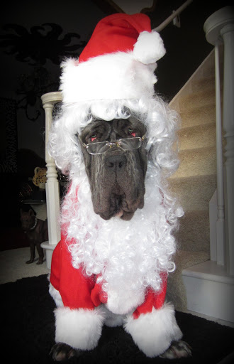 And her Neapolitan Mastiff, Rufio Ricardo, is ready to play Santa!