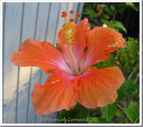 01-23-hibiscus