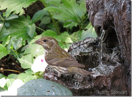 Purple Finch at fountain
