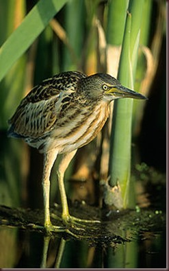 Amazing Pictures of Animals photo Nature exotic funny incredibel Zoo,bird, Little Bittern, Alex (2)