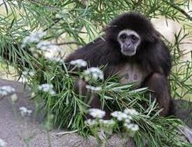 Amazing Pictures of Animals, Photo, Nature, Incredibel, Funny, Zoo, Gibbons, Hylobatidae, Primate, Mammals, Alex (14)