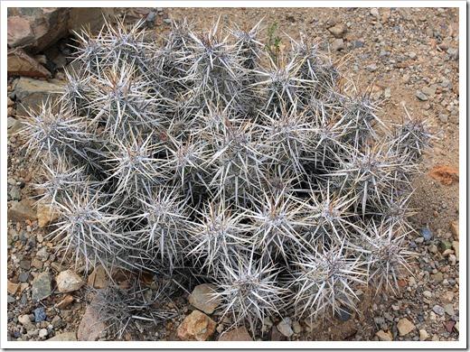 120728_ArizonaSonoraDesertMuseum_Echinocereus-brandegeei_01
