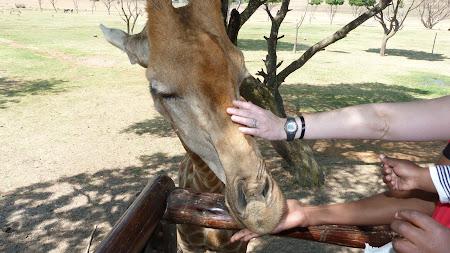Fauna Africa de Sud: girafa