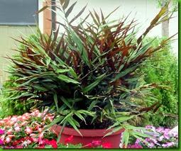 Alpinia luteocarpa 1