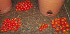 17 week coirstone vs. potting mix tomatoes - final harvest - sweetNneat, red robin, sweetNneat, red robin