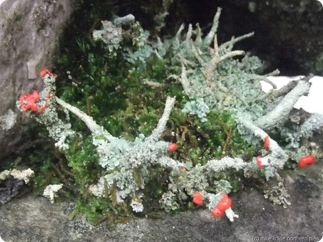 lichen flowering