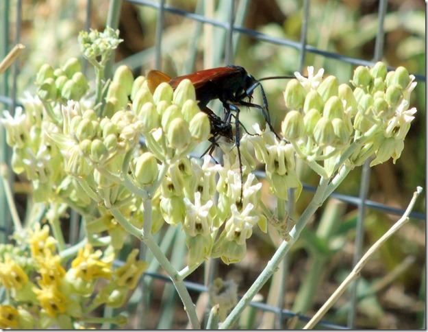 Tarantula hawks on milkweed 6-24-2013 9-45-17 AM 2520x1949