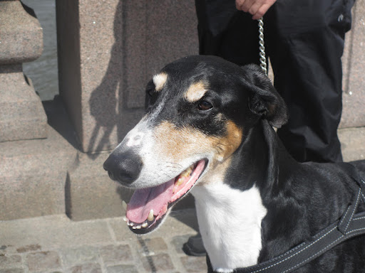 This regal dobbie-greyhound mix is Malcolm.  It was his first day venturing into the big city of Gothenburg!  He was a bit nervous but seemed to be doing a great job taking in all the new smells.