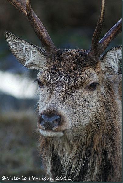 12-red-deer