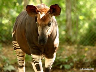 Okapi avec sa langue en captivité dans la réserve de faune à Okapi, 2006.