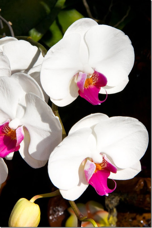 orchid___white_by_deviantteddine-d4j5n32