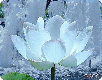285048_lotus