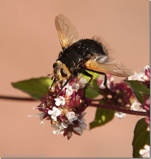 Tachina-grossa