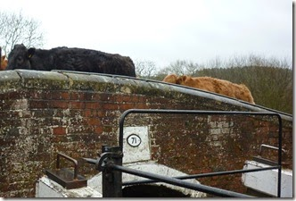 2 cattle at  lockcolwich