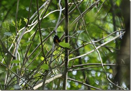 American Redstart, Bird
