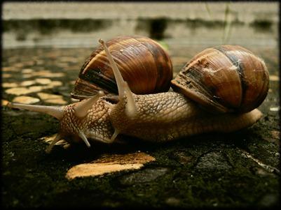 amor de caracol