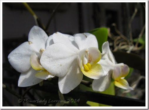 04-29-unkn-white-orchid3