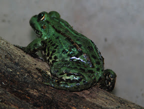 grön groda 2