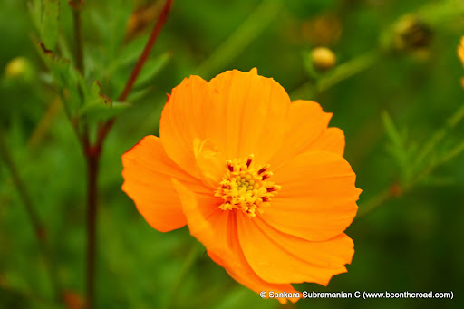 Closeup of Cosmos Orange Flower